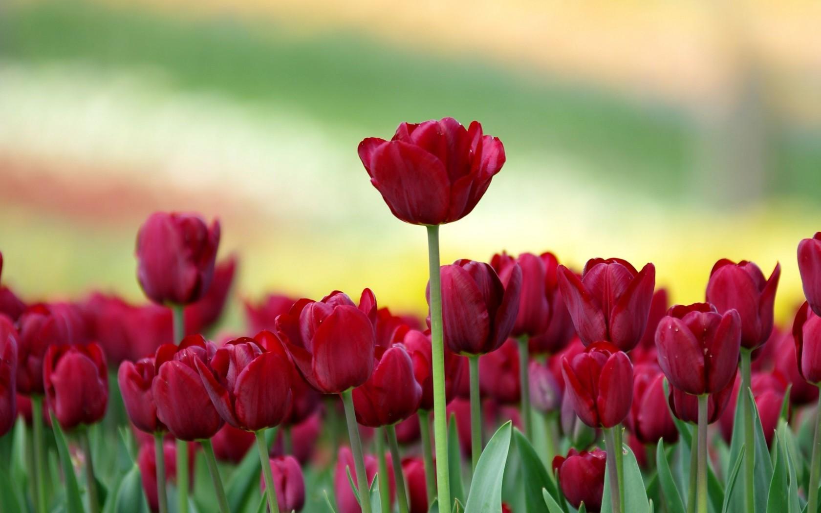 6807934-red-tulips.jpg